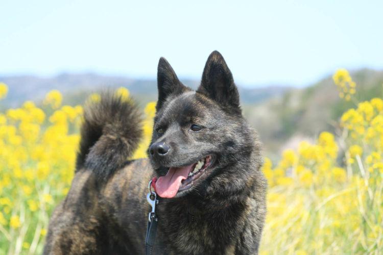 【プロドッグトレーナー監修】甲斐犬を飼うのは危険?初心者でも大丈夫?性格や特徴、しつけ、平均寿命は?