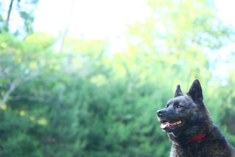 甲斐犬【飼うのは危険?初心者が飼っても大丈夫?】【断耳・断尾は必要?】
