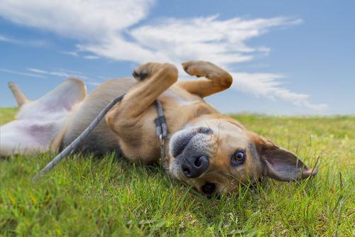 犬の角化異常症(かくかいじょうしょう)