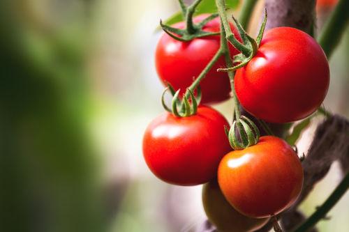 トマトの歴史