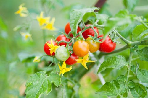 犬にトマトの【花】【葉】【茎】は危険!絶対に与えてはダメ!