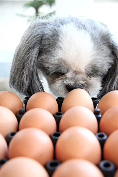 犬がゆで卵を食べても大丈夫!