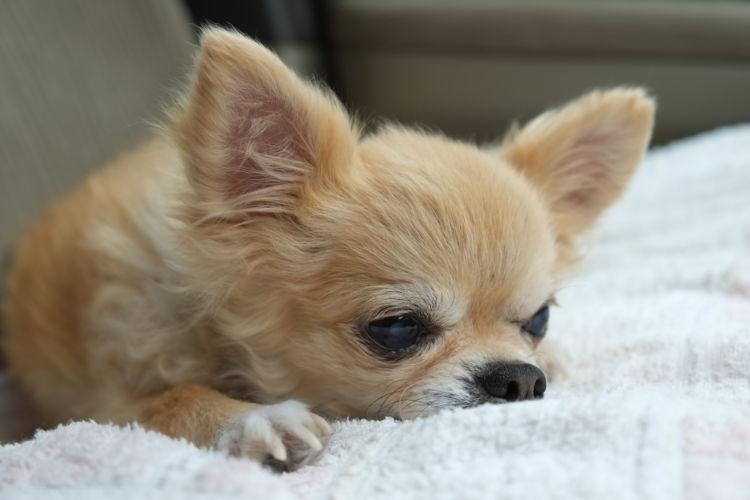 犬がガムを「誤飲・丸呑み」して喉(のど)につまらせた場合の【対処法】や【応急処置】は?