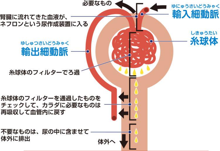 犬の尿作成装置「ネフロン」の働き