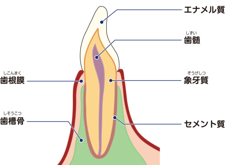 犬の歯髄炎(しずいえん)【原因は?】