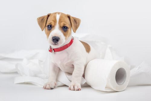 【獣医師監修】愛犬がトイレ(排泄)を覚えない?【犬種別】しつけ、トレーニングのポイントやコツ!