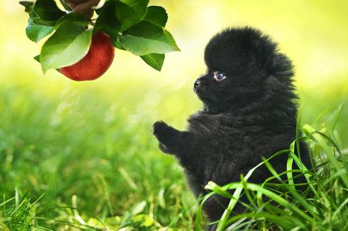 【獣医師監修】犬がりんご(皮・種・芯)を食べても大丈夫?適量は?腎臓病や下痢、アレルギーに注意!