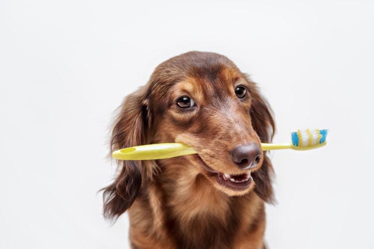 高齢犬(老犬)の歯髄炎【注意点・ケア方法は?】
