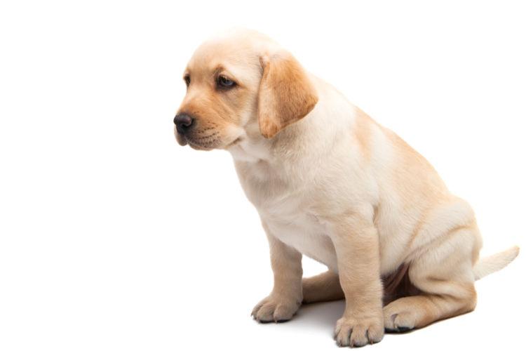 【獣医師監修】「犬の線維肉腫」原因や症状、なりやすい犬種、治療方法は?