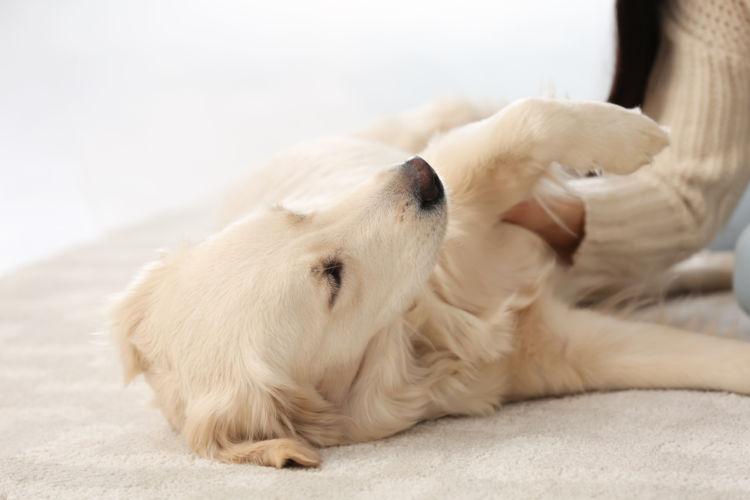 犬の血管肉腫【症状】