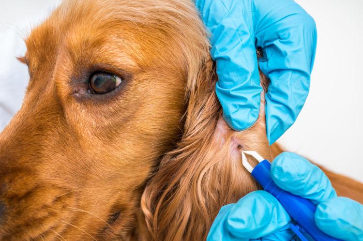 犬の耳にダニがびっしりついている【この症状で考えられるおもな病気】
