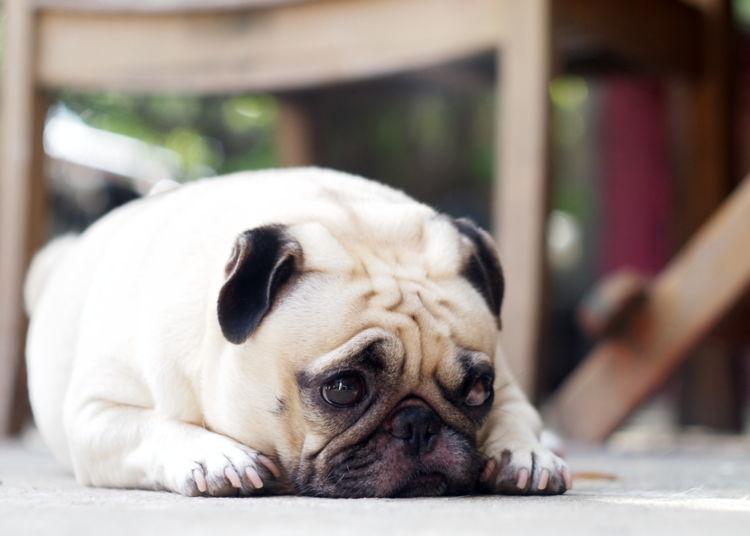 犬のリンパ節が腫れる【この症状で考えられるおもな病気】