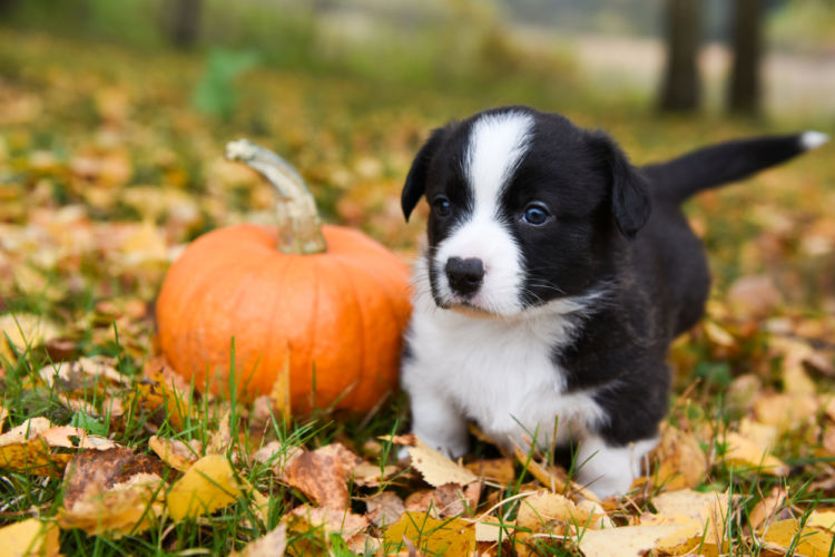 愛犬に与えるかぼちゃの量の目安は?