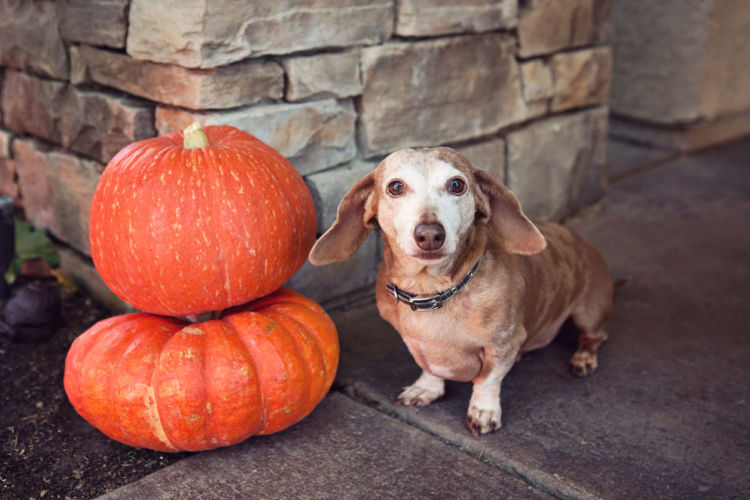 愛犬に与える「かぼちゃ」まとめ