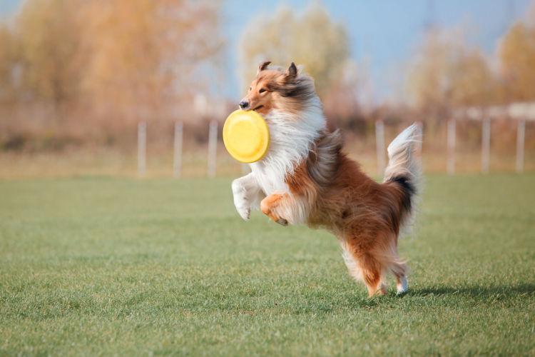 シェットランド・シープドッグの「飼い方」運動をたっぷり