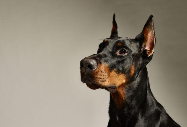 犬の胃拡張・胃捻転症候群【発症しやすい犬種】