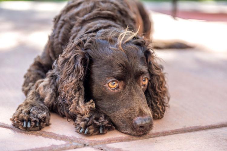 犬の中耳炎【発症しやすい犬種】