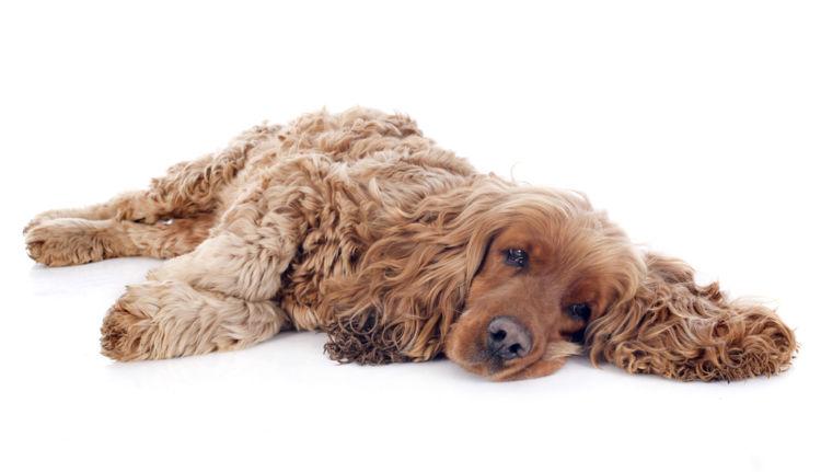 【獣医師監修】犬がぐったりしている。考えられる原因や症状、おもな病気は?