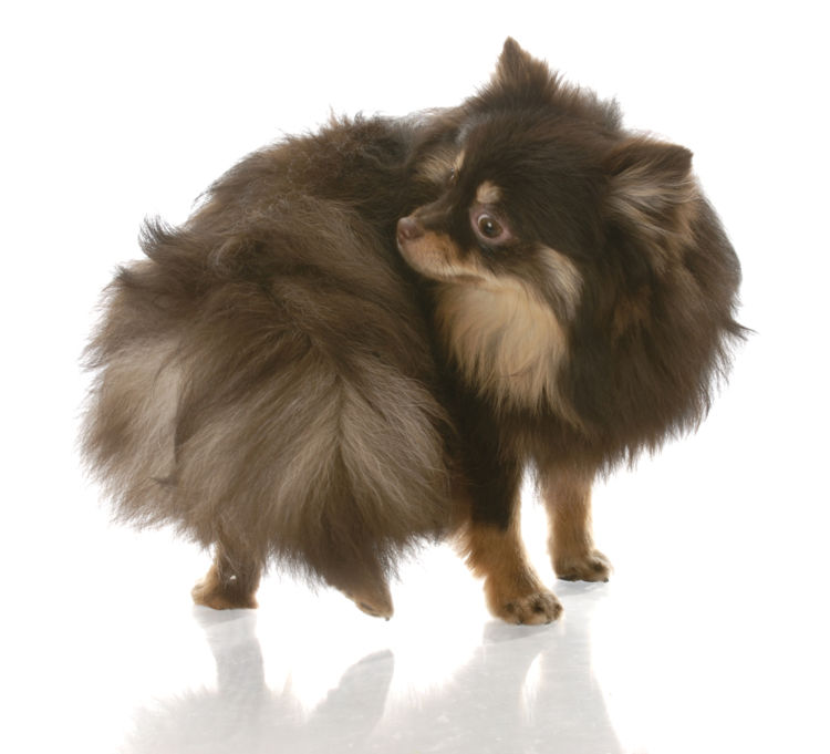 【獣医師監修】犬がおしりを気にする・痒がる。この症状から考えられる原因や、おもな病気は?