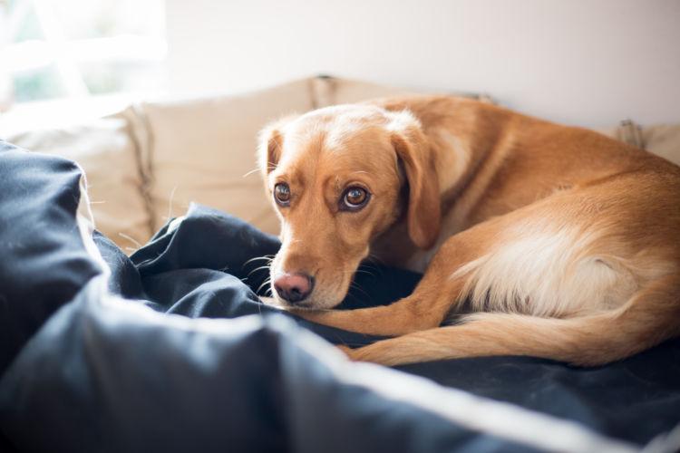 【獣医師監修】「犬の股関節脱臼」原因や症状、なりやすい犬種、治療方法は?