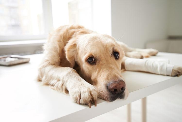 【獣医師監修】「犬の脱臼」原因や症状、なりやすい犬種、治療方法は?