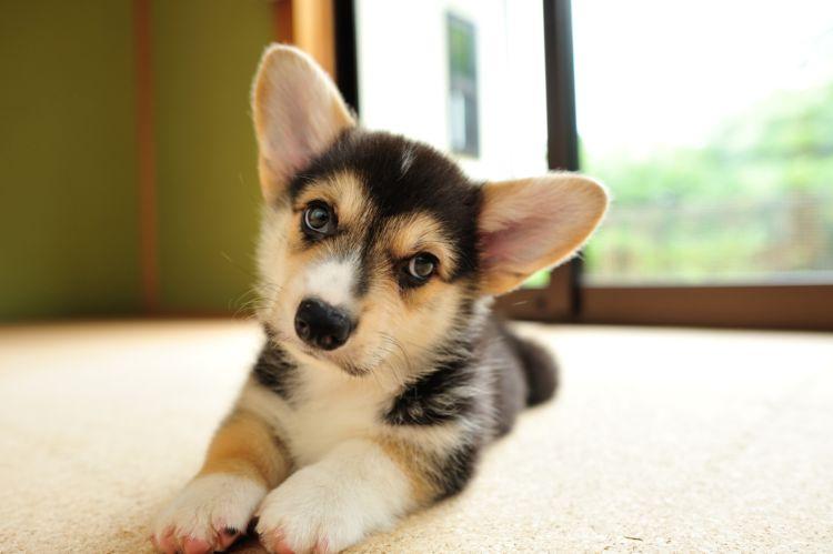 【獣医師監修】犬が首をかしげる仕草に秘められた本当の意味は!?病気や疾患のサインかも?