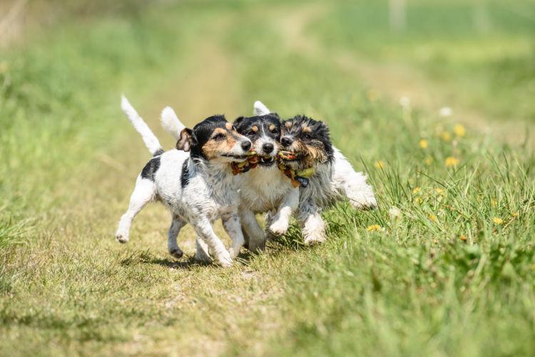【獣医師監修】なぜ、犬は遊んでいると急に唸るの!?唸る意味や理由、しつけ対策方法は?