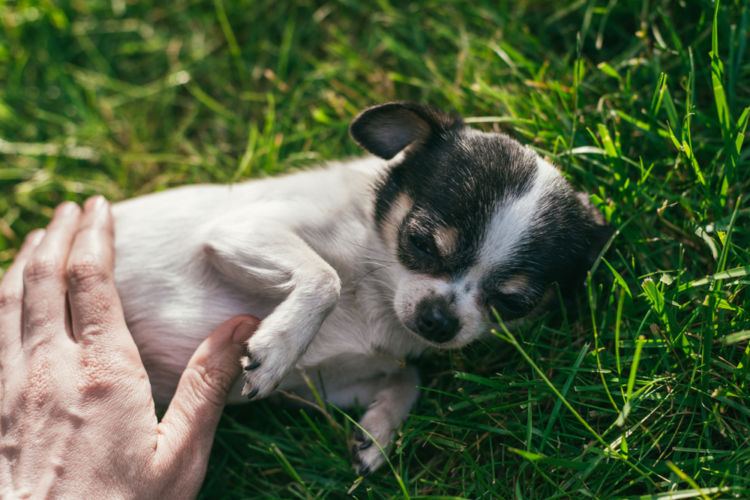 「犬の乳首(乳腺)」主な病気③【乳腺炎】