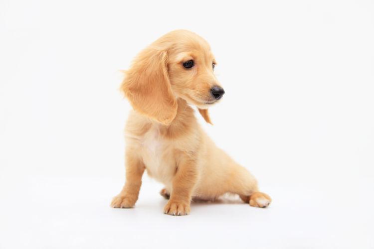 股関節形成不全の症状が出た子犬