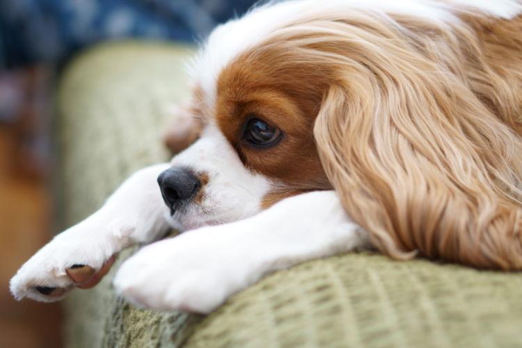 突然、急激に腎機能が低下する「犬の急性腎臓病(急性腎不全・急性腎障害)」