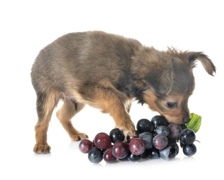犬の腎性急性腎不全