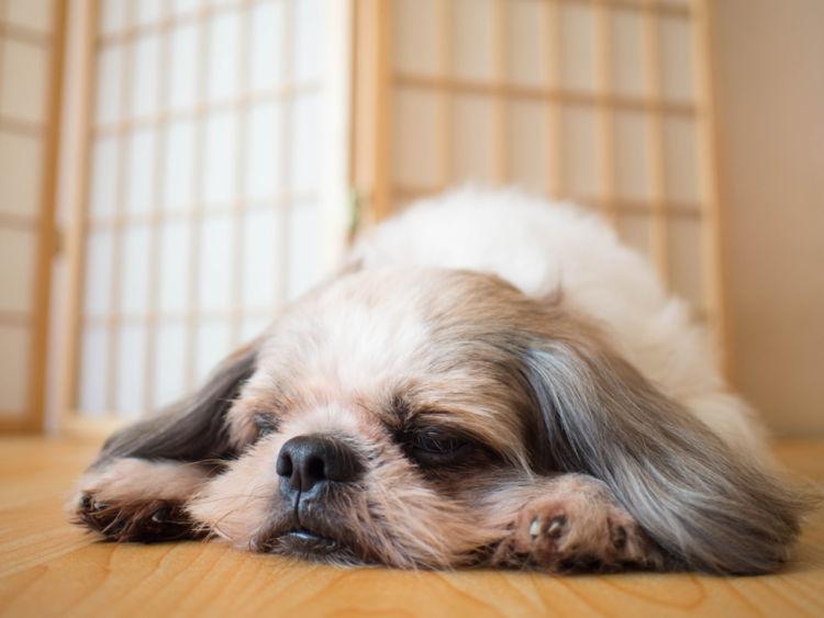 犬の糖尿病「症状」⑥【「ケトアシドーシス」と言う状態】