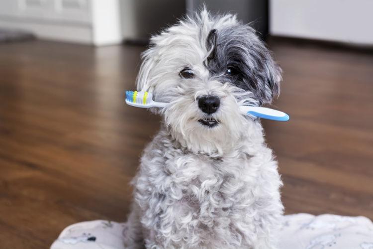 【獣医師監修】犬も「虫歯(う蝕)」になる?見分け方は?原因や症状、対処、治療法(費用)予防対策は?