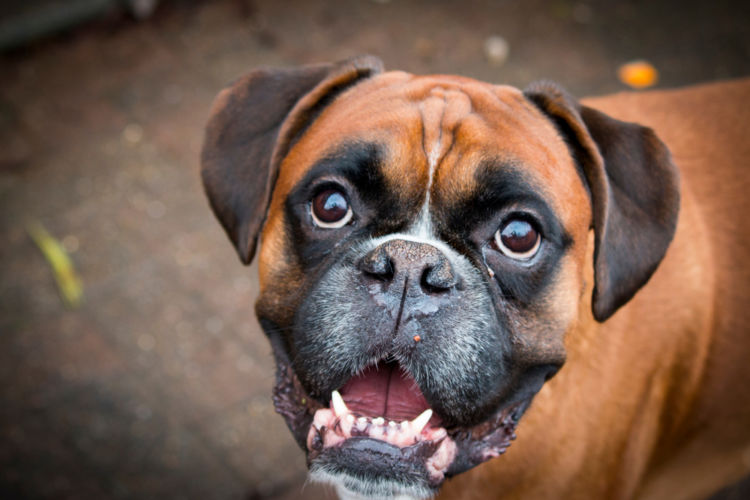 犬の埋伏歯【なりやすい犬種】