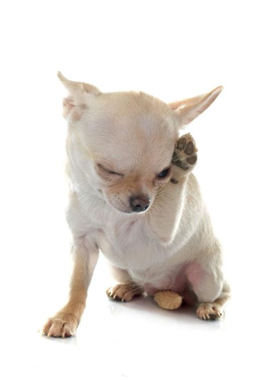 犬の桃「アレルギー」に注意!