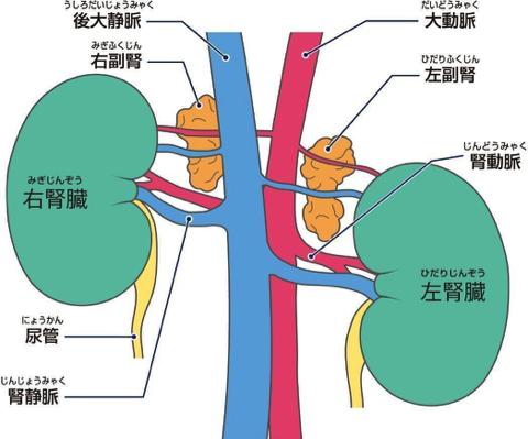 犬の副腎(外部構造)