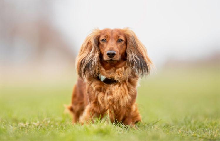 犬の甲状腺機能低下症【症状】