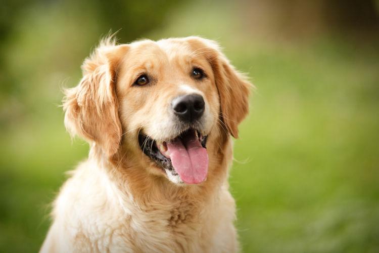 犬の甲状腺機能低下症【発症しやすい犬種】