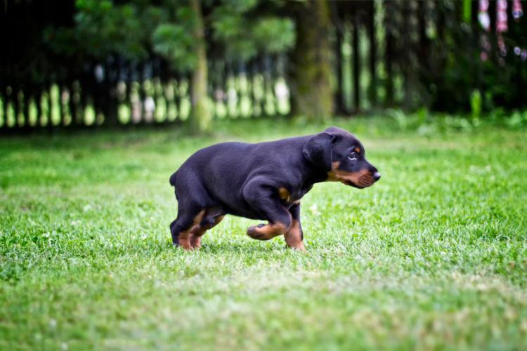 犬の副腎皮質機能低下症(アジソン病)【原因】