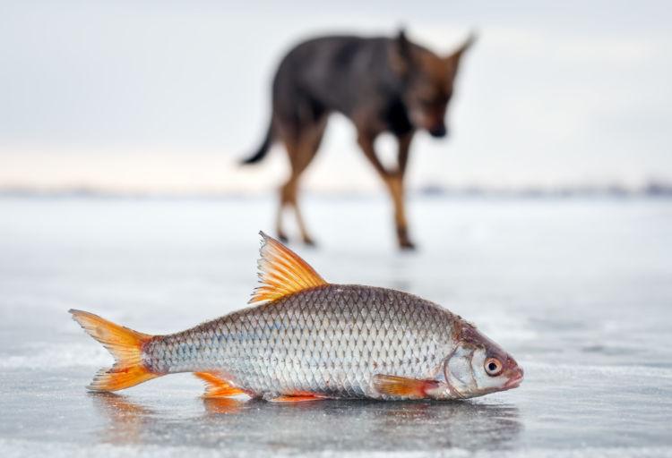 【獣医師監修】犬が魚(魚介類)を食べても大丈夫?おやつにおすすめな魚や注意点は?