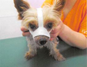 医療用テープを用い、その犬に合わせて骨折患部を保定する