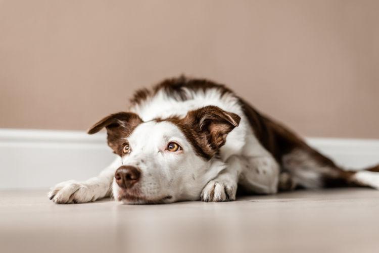 犬のマラセチア皮膚炎と間違えやすい病気