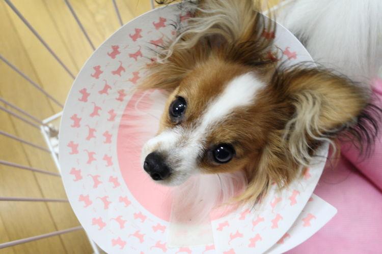 老犬の顎骨骨折(がくこつこっせつ)【注意点・ケア方法は?】